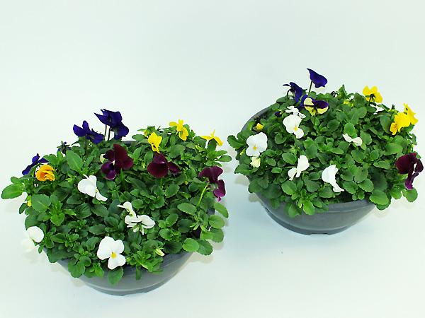 Viola cornuta Schale T23