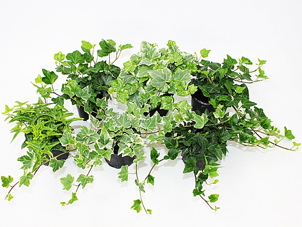 Hedera helix T9