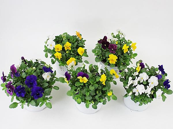 Viola cornuta Trios T13