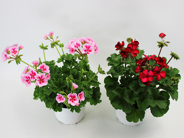 Pelargonium interspecific T13